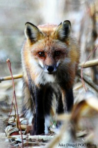 Red Fox - Photo courtesy Jake Dingel/PGC