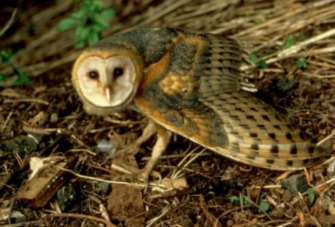 Barn Owl (courtesy US Fish & Wildlife)