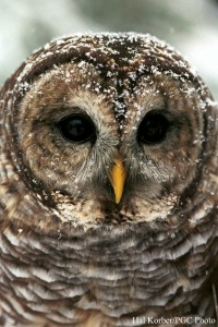 Barred Owl (courtesy PA Game Commission)