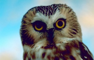 Saw-whet Owl (courtesy USFWS)