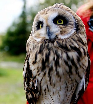 Short-earred Owl (courtesy USFWS)