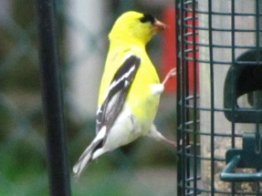 American Goldfinch (Carduelis tristis) at my bird feeder