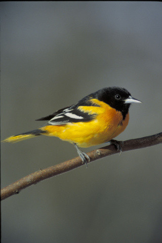 Baltimore Oriole (Icterus galbula). Photo courtesy US FIsh and Wildlife Service/David Brezinski.