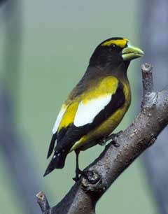 Evening Grosbeak (Coccthraustes vespertinus). Coutesy fws.gov.