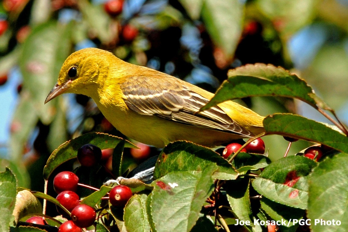 Orchard Oriole (Icterus spurius). Photo courtesy Pennsylvania Game Commission /Joe Kosack.