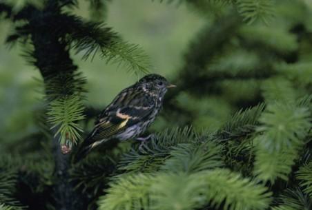 Pine Siskin (Carduelis pinus). Photo courtesy US Fish and Wildlife Service/Dave Menke.