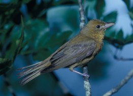 Summer Tanager (Piranga rubra). Photo courtesy US Fish and Wildlife Service/Dan Sudla.