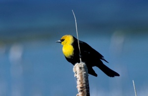 Yellow-headed Blackbird (Xanthocephalus xanthocephalus). Photo courtesy US Fish and Wildlife Service Digital Library/Dave Menke.