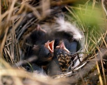 tree_sparrow_chicks_nest_fws.gov