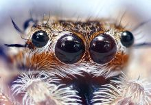 http://commons.wikimedia.org/wiki/File:Jumping_Spider_Eyes.jpg#mediaviewer/File:Jumping_Spider_Eyes.jpg