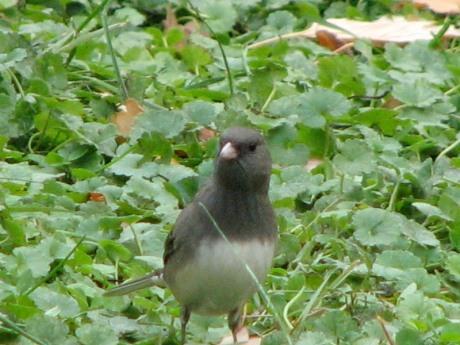 Dark-eyed Junco in my garden. Photo by Donna L. Long